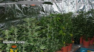 La Guardia Civil encontró 91 plantas en fase de crecimiento de alrededor de un metro de altura. / Guardia Civil.  Foto: Granadahoy.com
