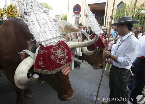 Detalle de los bueyues que tiran del simpecado de la Hermandad del Rocío de Sevilla Sur.  Foto: José Ángel García