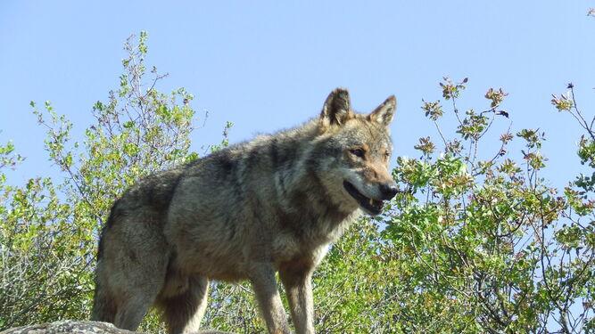 El lobo está en expansión en buena parte del noroeste peninsular pero en recesión en Andalucía.