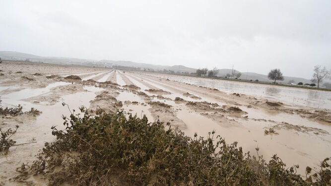 Cultivo del espárrago en Huétor Tájar, tras las inundaciones.