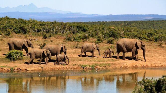 Elefantes africanos amenazados por la guerra.
