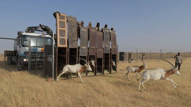 Liberación de gacelas en El Chad