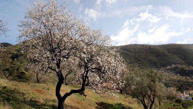 En el 91% de las plantaciones de almendro productivo predomina el secano.