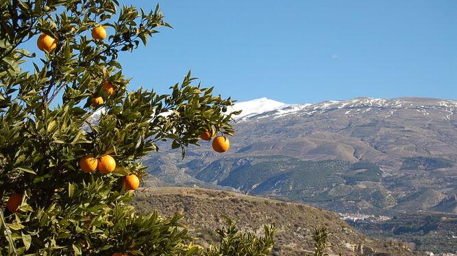 Naranjo en el Valle de Lecrín