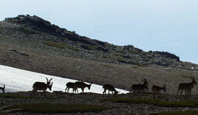 Sierra Nevada alberga la población más importante de cabra montés.